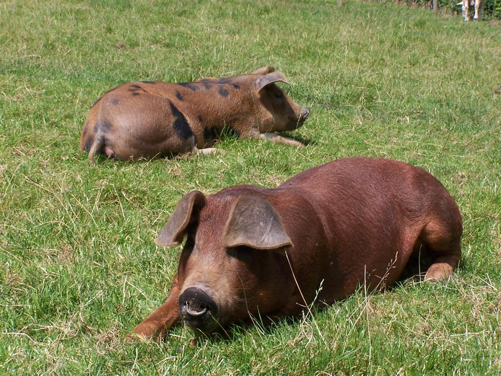 Relaxing Pigs