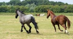 horses-in-the-netherlands--grasslands--brown_19-109498