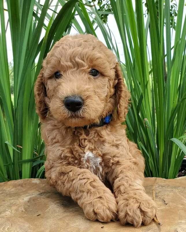 mini goldendoodle in grass