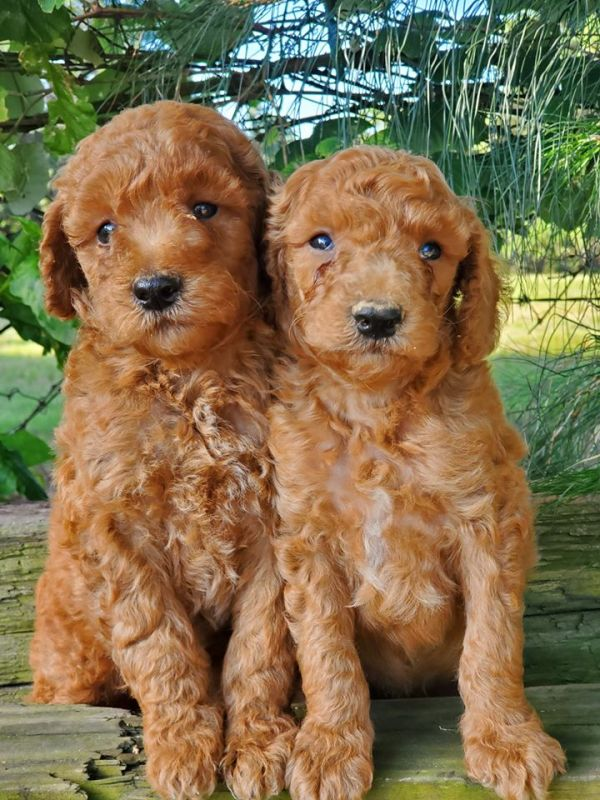 goldendoodles under tree in texas