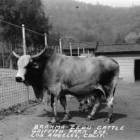 Brahma Zebu Cattle