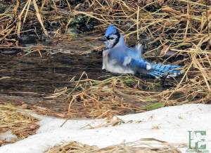 blue jay taking winter bath