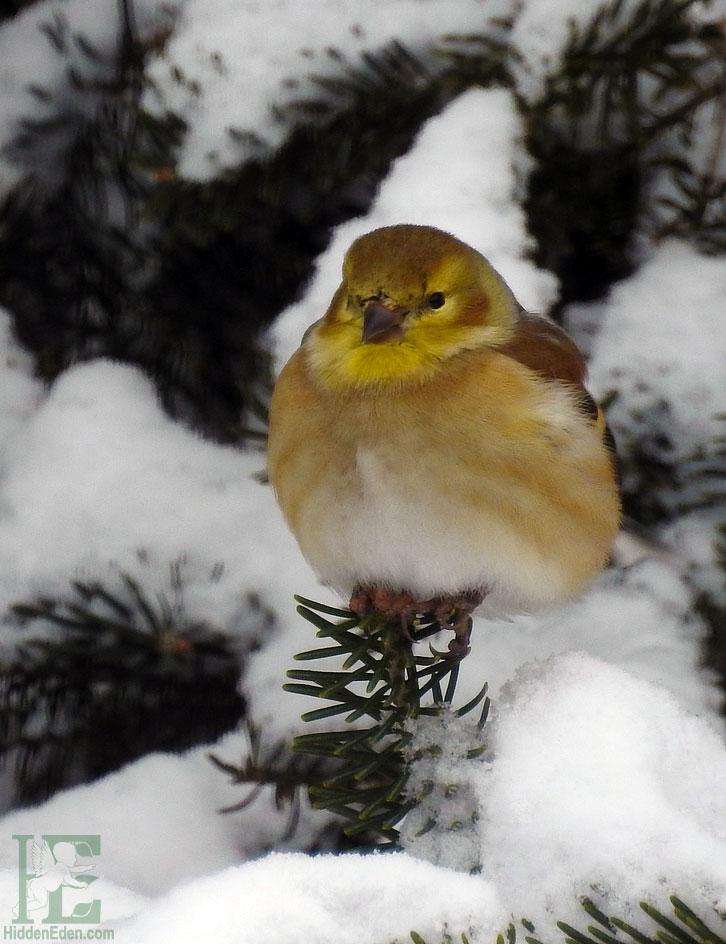 Muskoka Winter Goldfinch In The Snow