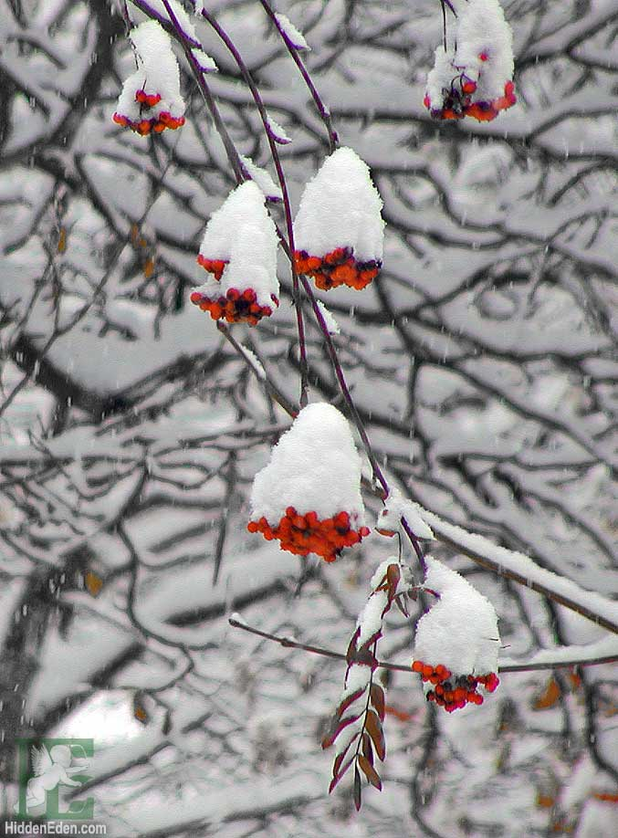 mountain ash berries in snow