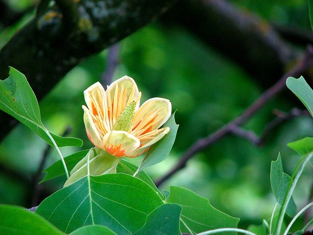 Species (Tulip Poplar)