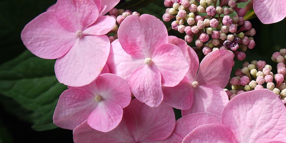 Twist and Shout (Hydrangea)