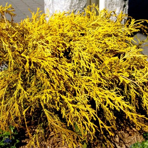 Golden Mop (Chamaecyparis pisifera)