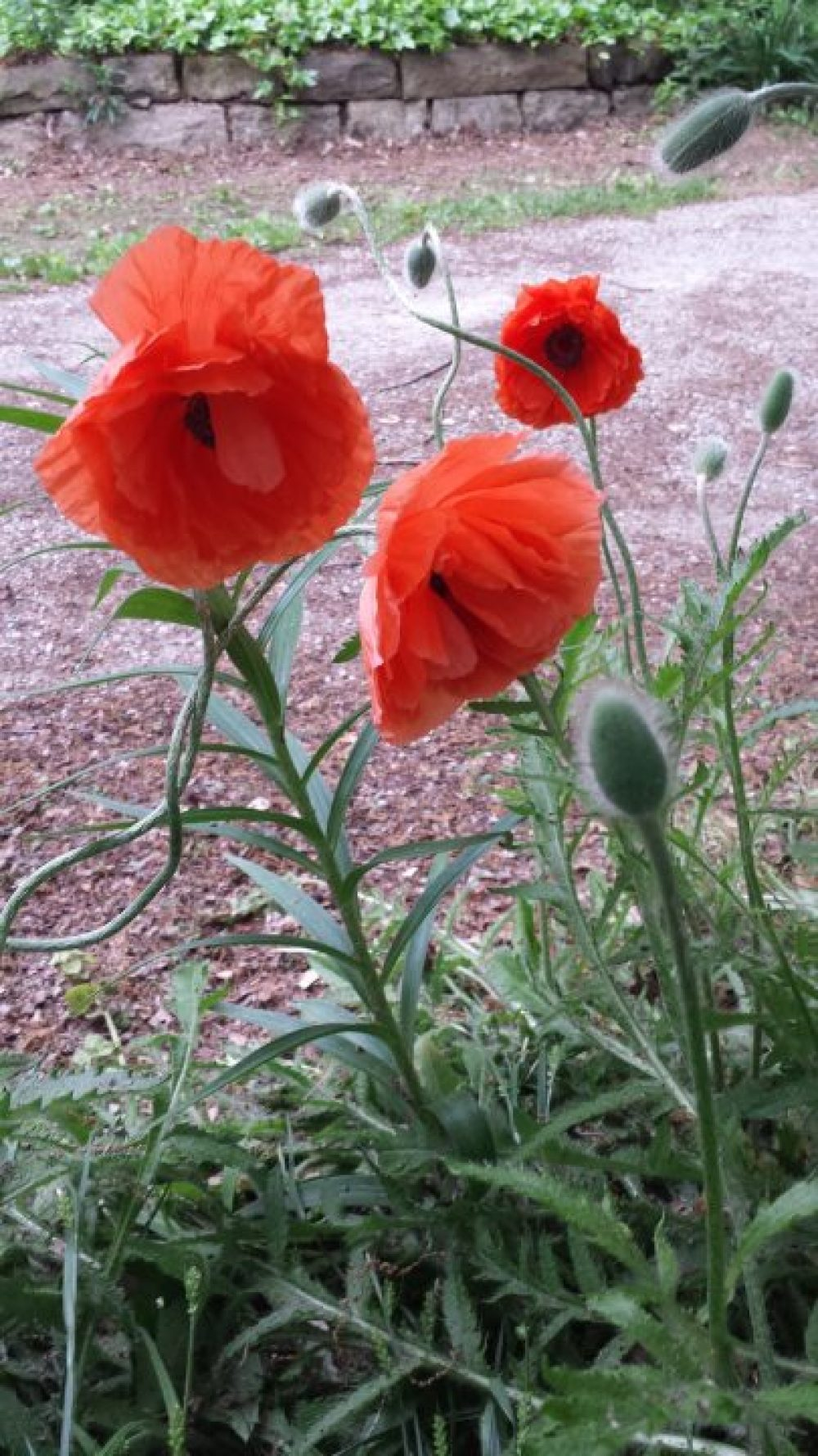 Of War and Poppy Remembrance 2