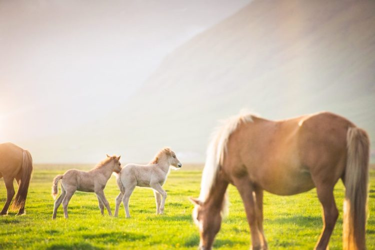 Icelandic horses in summer. Taken by Tom Archer