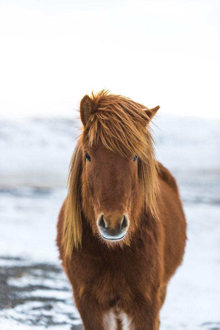 Icelandic Horse at Friðheimar Farm | Hidden Iceland | Photo by Brendan Bannister