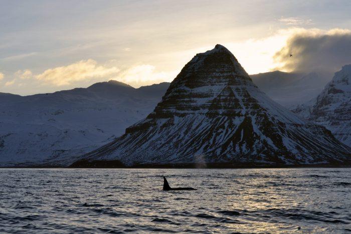 Orca Whale Watching Kirkjufell Mountain