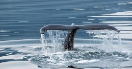 Hauganes Whale Watching | Carbon Neutral Tours | Featured