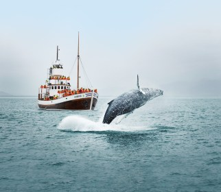Humpback Breaching Whale Watching | Hidden Iceland | Photo North Sailing - Featured