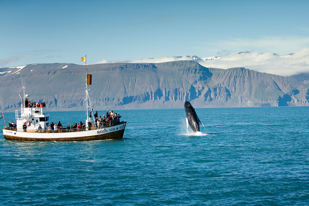 Whale Breaching | Hidden Iceland | Photo North Sailing
