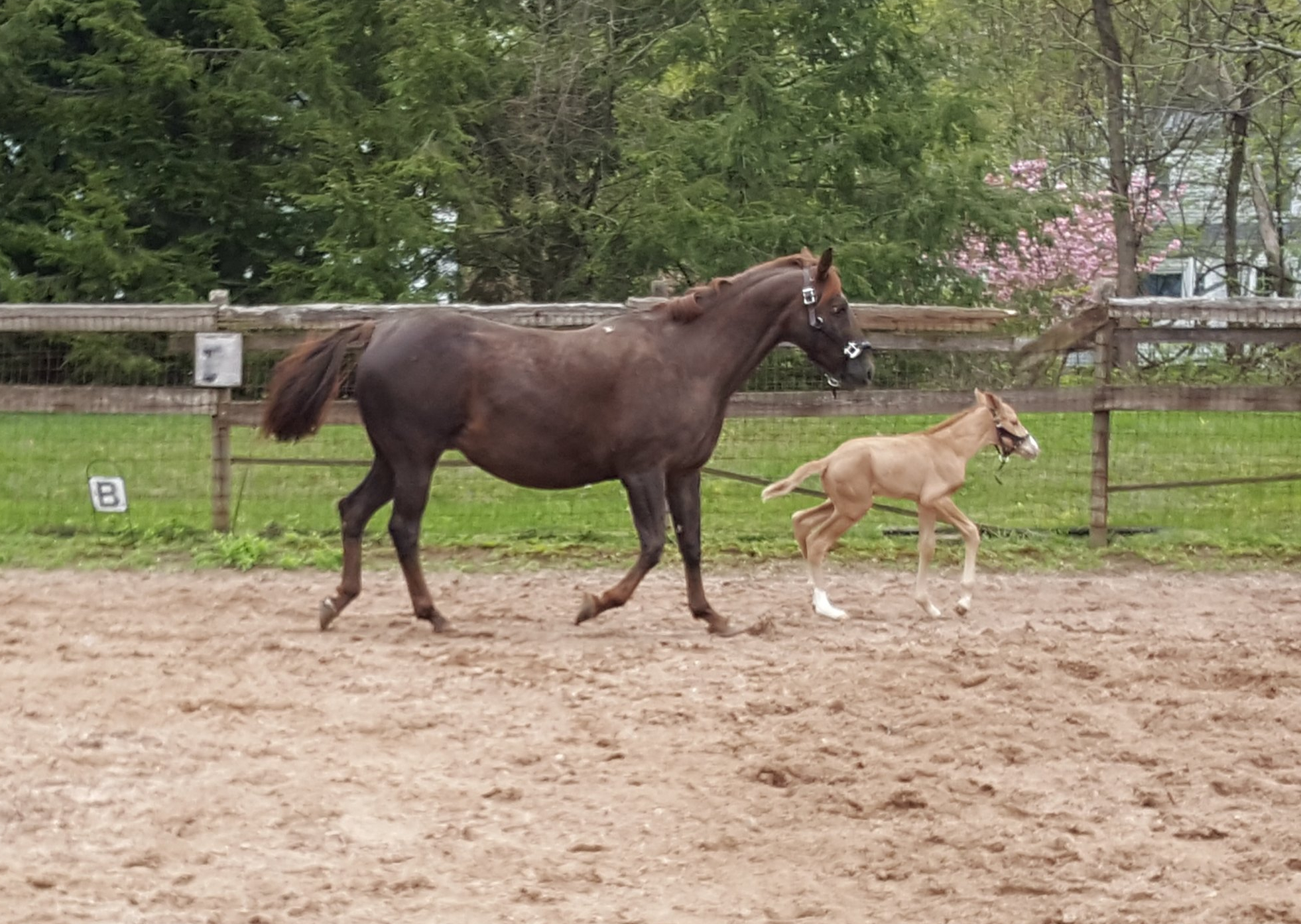 a chestnut mare and filly