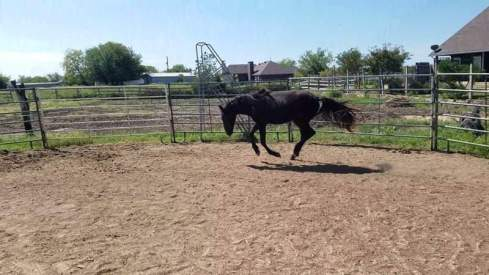 black filly cantering in a round pen