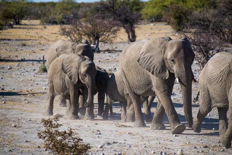Group of Elephants in Namibia Safari