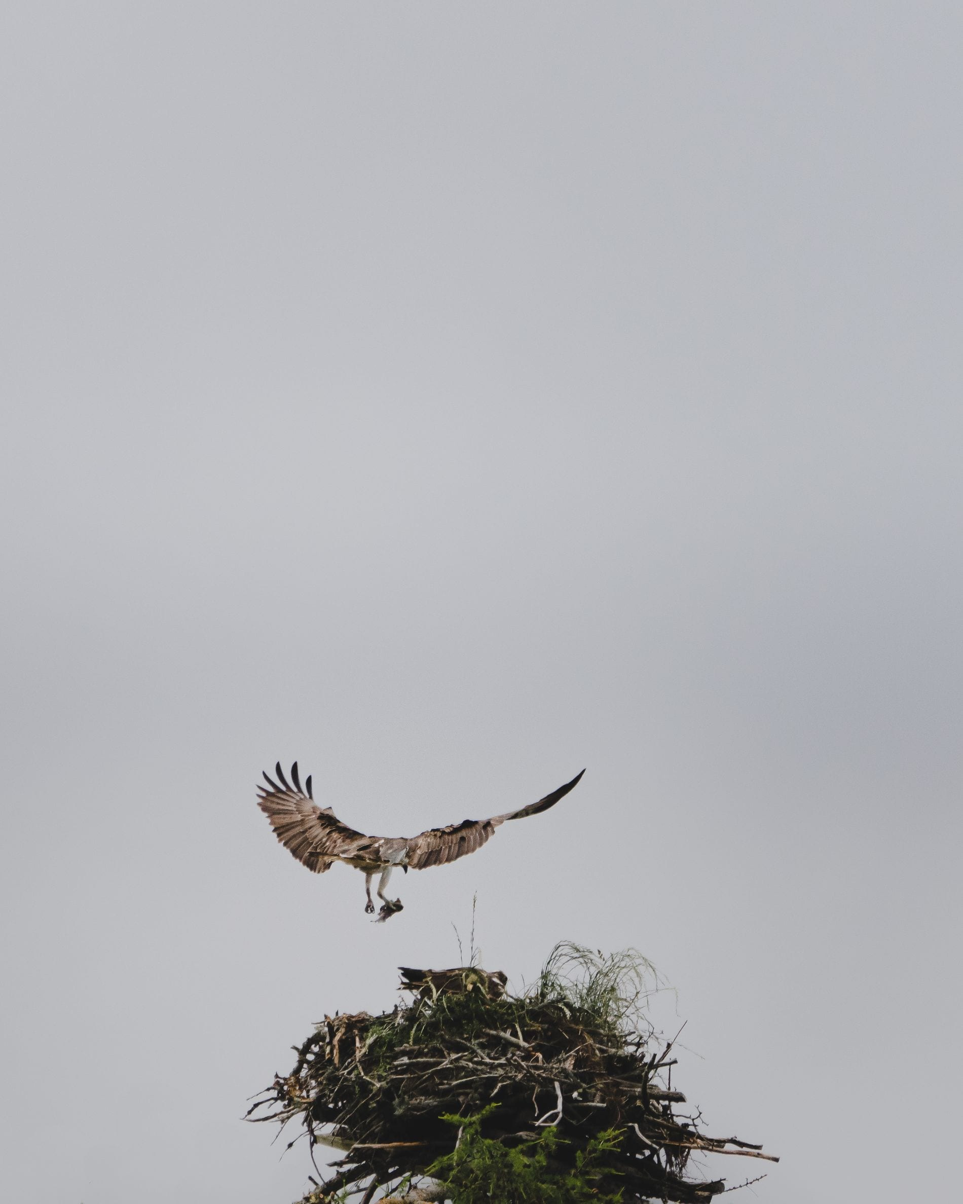 Osprey Nest, Cairngorms National Park