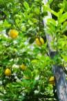 Zitronen in der Limonaia