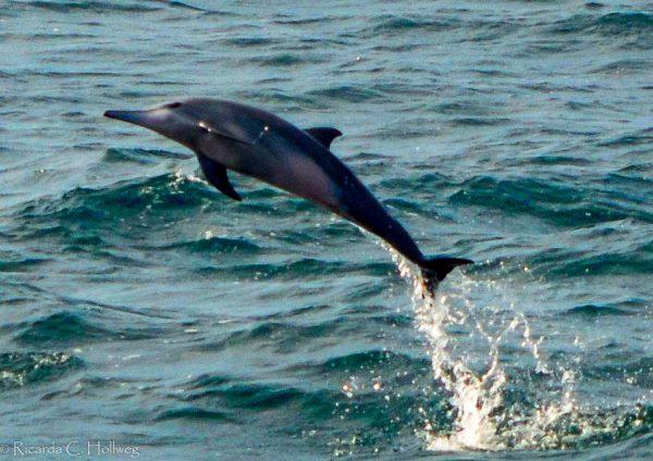 Springender Delfin in Sri Lanka