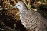 Taube auf Mauritius