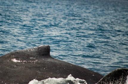 Wal vor Mauritius