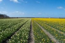 Narzissenfeld auf Texel
