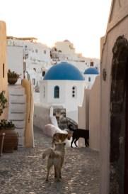 Wilde Hunde in Oia Santorin