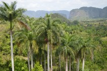 King's palms in Vinales