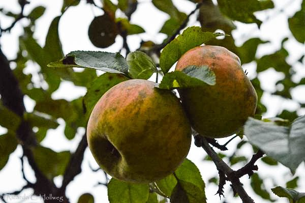 Apples of the Schleissheim Castle