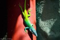 Colorful lizard in Cuba
