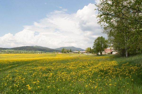 Flourishing meadow in the Šumava