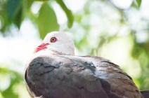 Pink Pigeon auf Mauritius