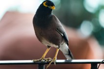 Common Myna in Mauritius