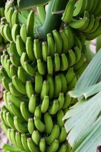 Bananas Hermigua