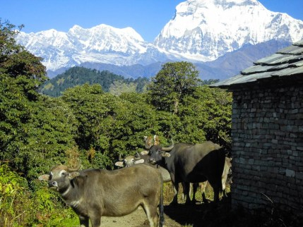 Buffalos and the Annapurna in Nepal