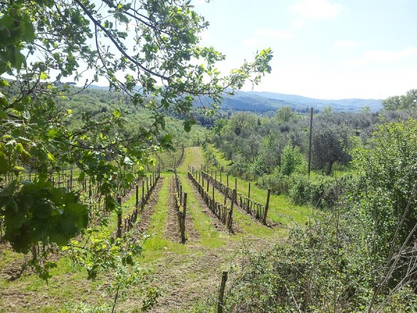 Growing wine in Tuscany