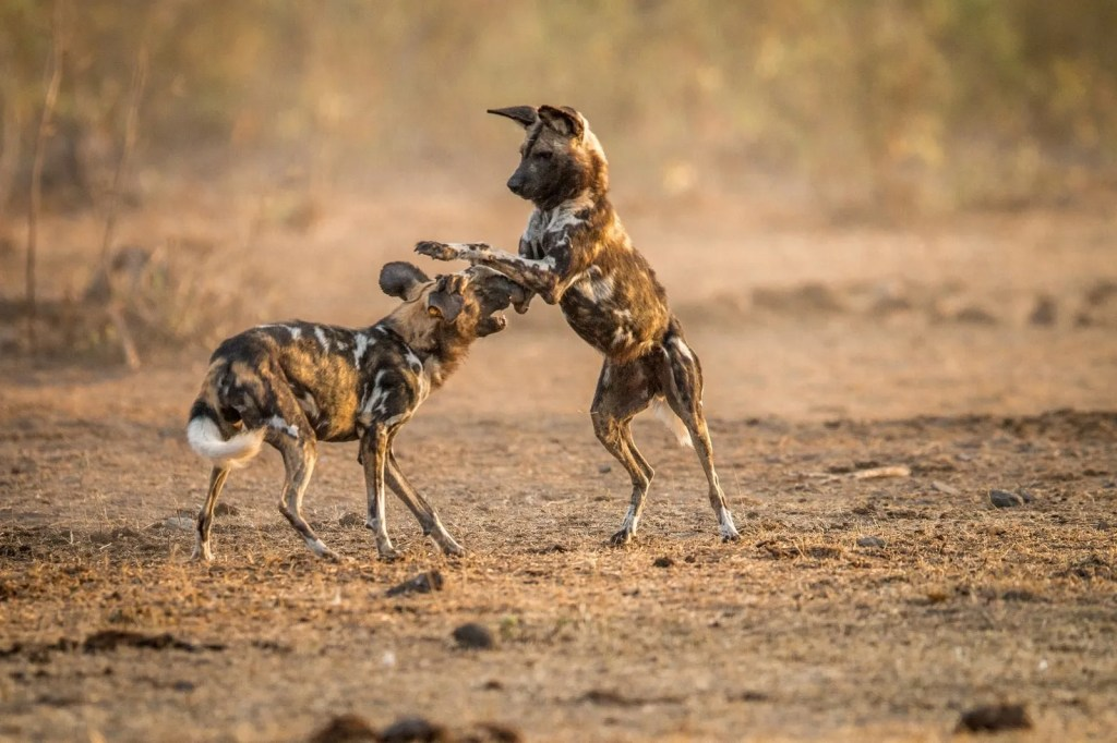 10 Fascinating Facts about Wild Dogs