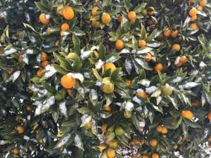 庭の金柑にも雪が
