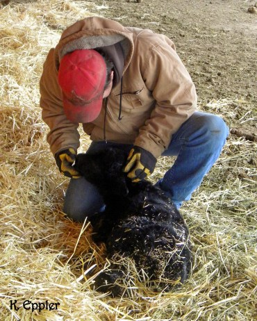 Checking on a newborn calf at the calving barn.