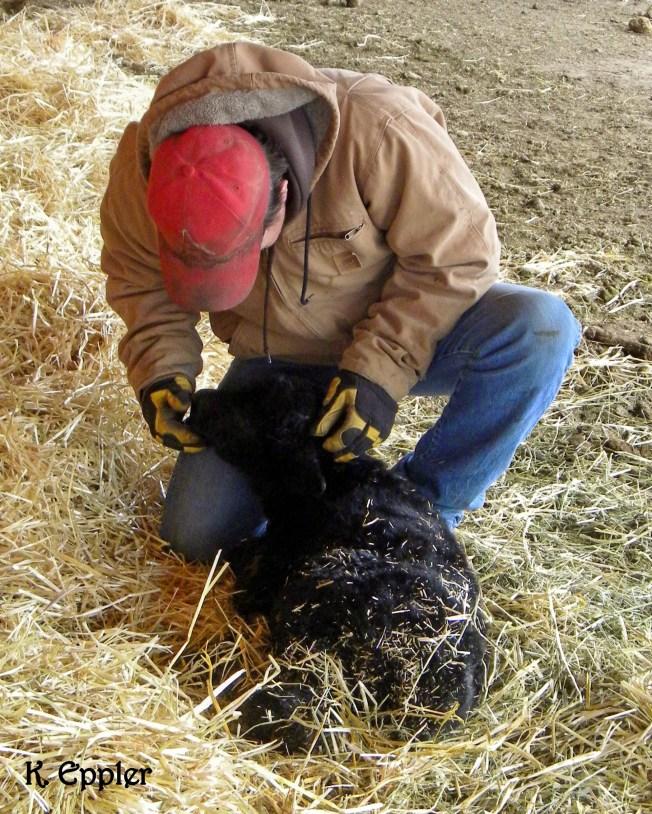Checking on a newborn calf at the calving barn.