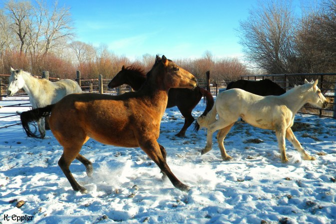 The horse's first day in Montana, and the first time many of them had ever seen snow. Like a bunch of kids they ran and bucked and played and rolled all around in it.