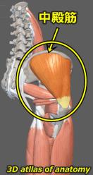 中殿筋 解剖