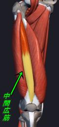大腿四頭筋 中間広筋