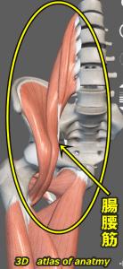 腸腰筋 解剖