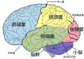 大脳 機能解剖