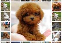 Карликовый пудель: описание характера мини - пуделя, характеристики породы, что нужно нать о собаке, стандарт и воспитание.