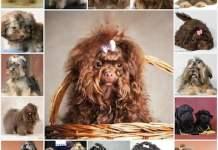 Особенности характера и ухода за русской цветной болонкой, описание породы, кормление и воспитание собаки.