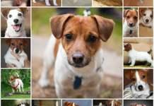 Все о щенках Джек рассел терьера, уход, особенности, как выбрать собаку.