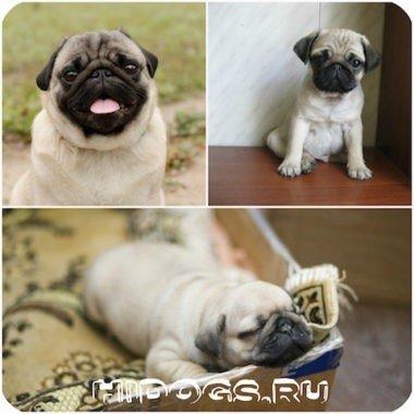 Все о щенках мопса, описание, характеристики, как выбрать, уход и содержание.